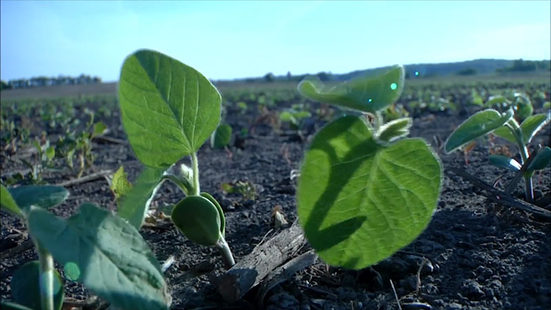 Still image from: Into the Outdoors: Nitrogen Fixation & Soybeans