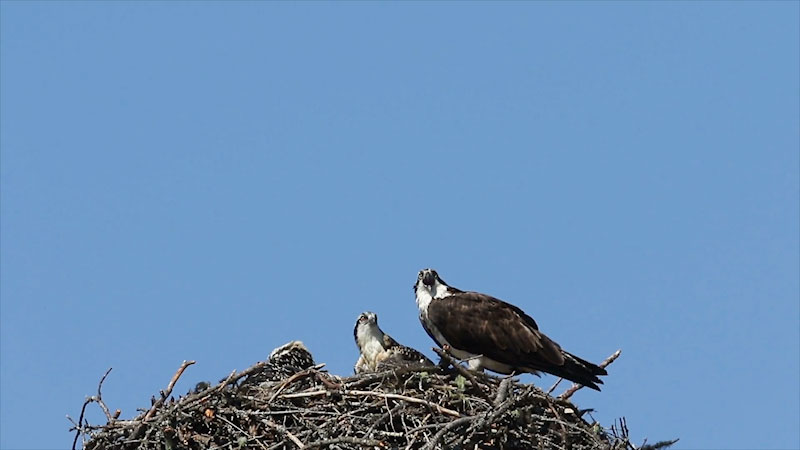 Still image from: Into the Outdoors: Osprey Nesting