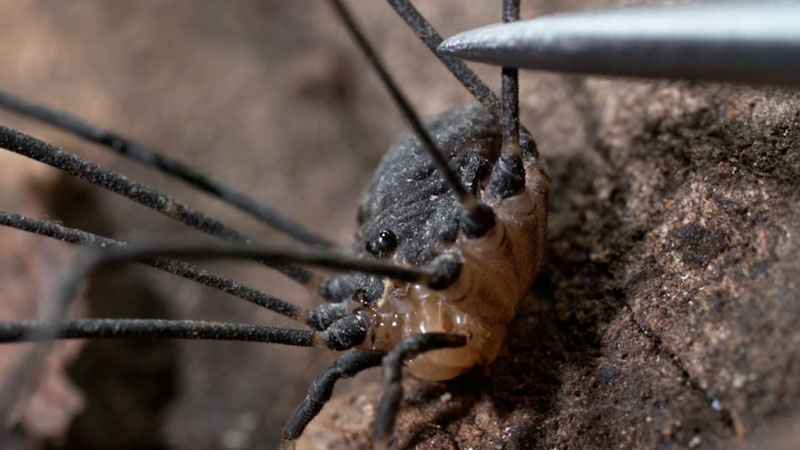Still image from: Deep Look: Daddy Longlegs Risk Life and Especially Limb to Survive