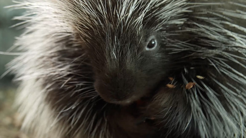Still image from: Deep Look: Porcupines Give You 30,000 Reasons to Back Off