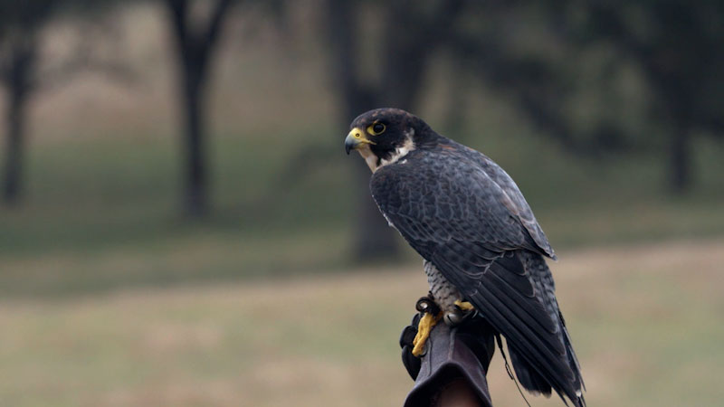 Still image from: Deep Look: Peregrine Falcons Are Feathered Fighter Jets, Basically