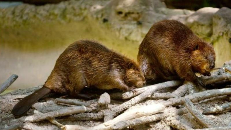 Still image from: Beavers and How They Live