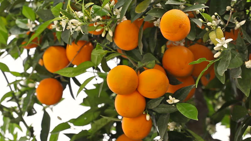 Still image from: Oranges: From Farm to Table
