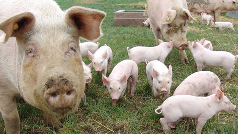 Still image from Pigs!