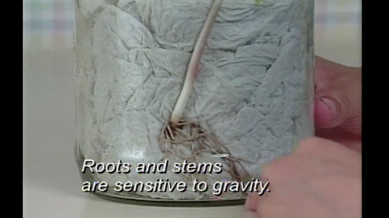 Still image from Plant Adaptations: Why Needles, Why Leaves?