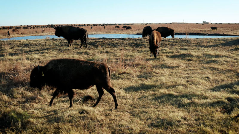 Still image from: Overview: How Bison Are Saving America's Lost Prairie