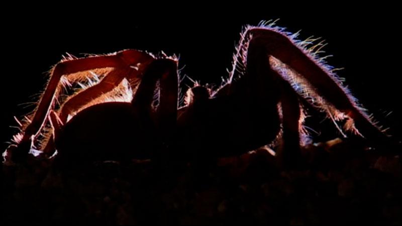 Still image from: Arachnids: Tarantulas
