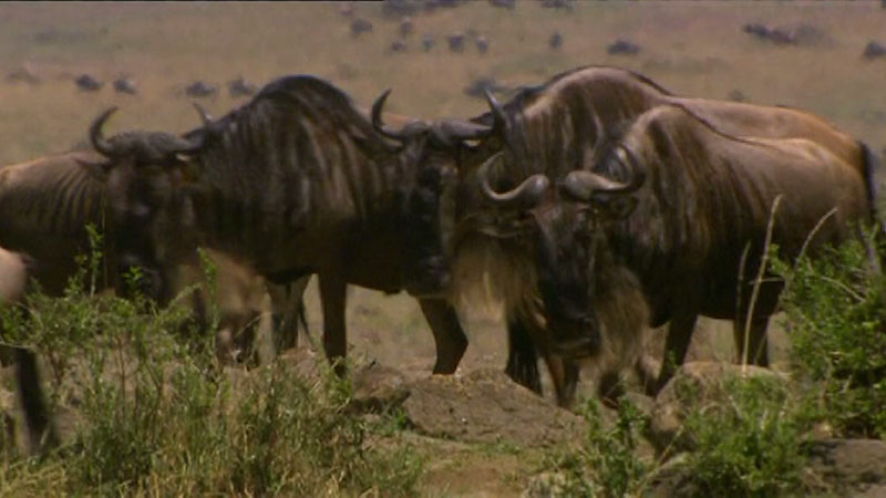 Still image from: Environment: Wildebeest Migration Patterns