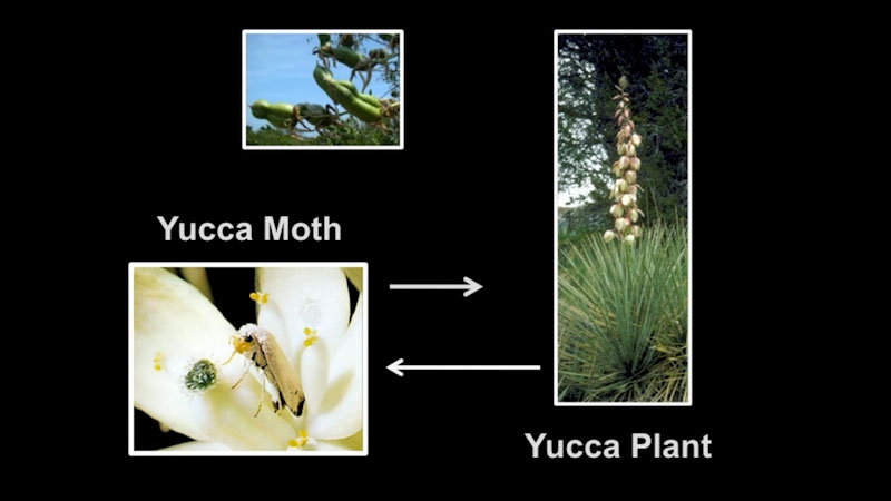 Still image from: The Amazing Yucca Moth