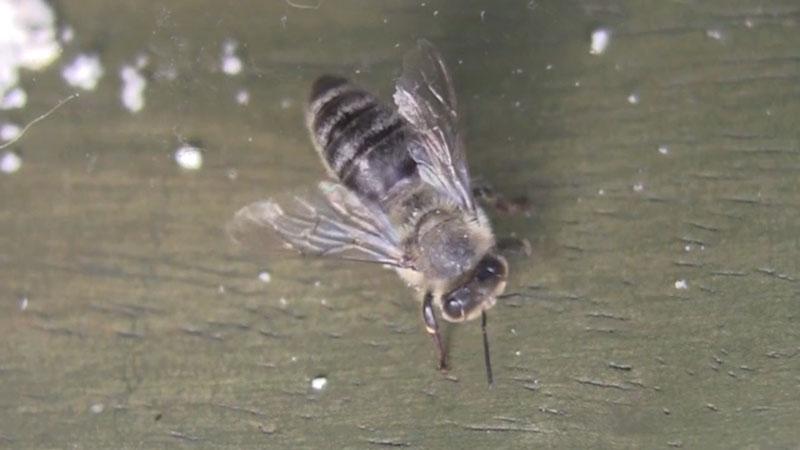 Still image from: Amazing Honeybee Body Parts!