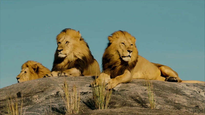 Still image from: All About Lions