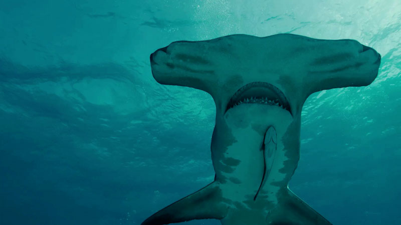 Still image from: Learn About Sharks: Fun Facts About Hammerhead Sharks!