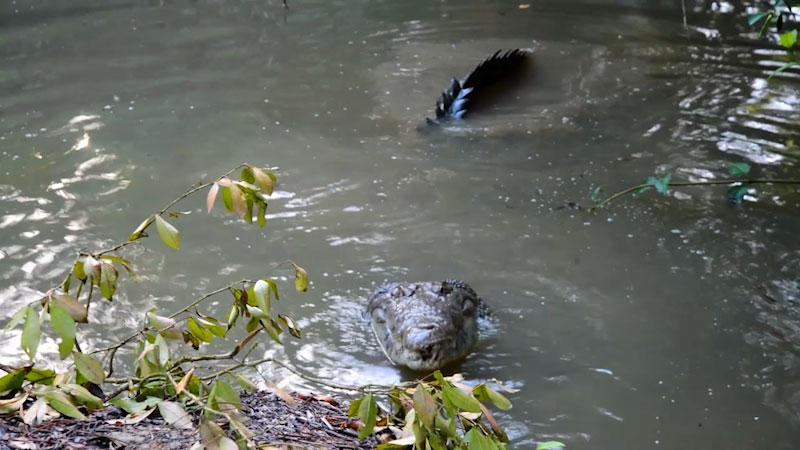 Still image from: Animal Jam: The American Crocodile