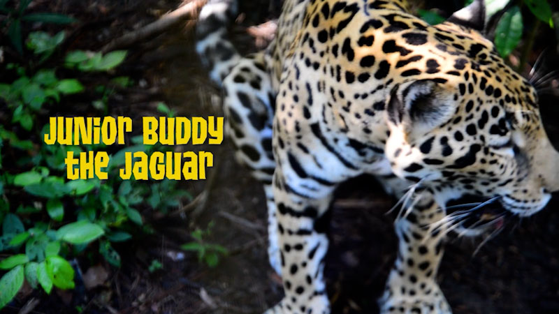 Still image from: Animal Jam: Learning About Jaguars at the Belize Zoo
