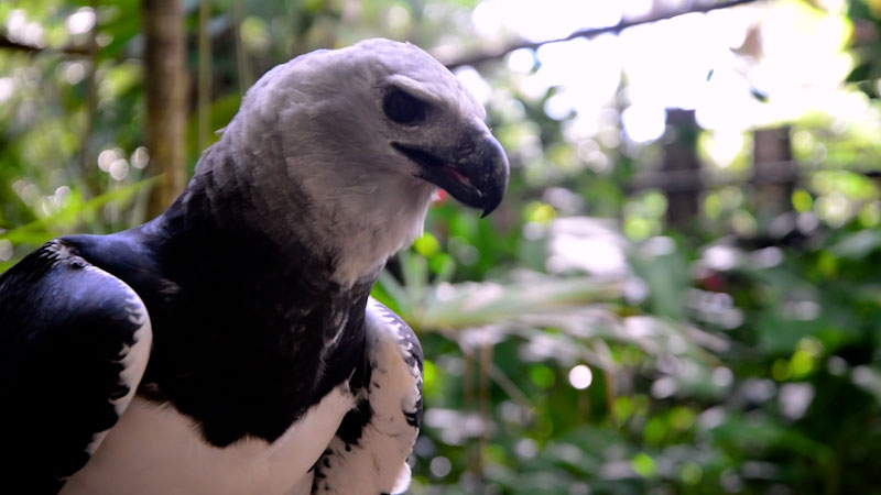 Still image from: Animal Jam: The Harpy Eagle--A Majestic Raptor of South America