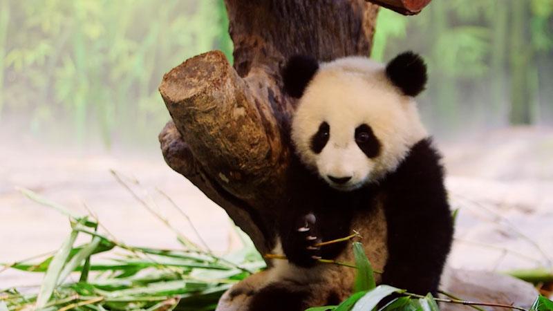 Still image from: Animal Jam: Panda Adoptions