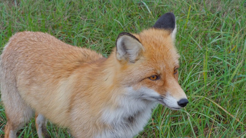 Still image from: Animal IQ: Foxes--Dog Hardware, Cat Software