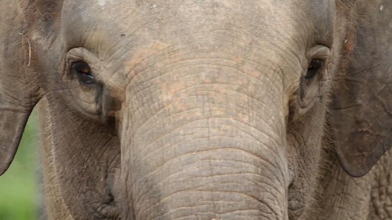 Still image from: Animal IQ: Elephants--Do Giant Brains Mean More Smarts?