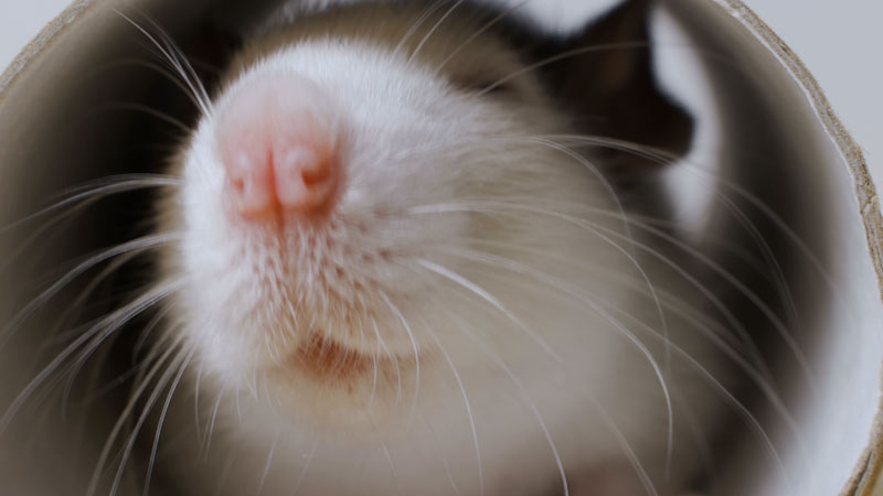 Still image from: Animal IQ: This Rat Can Drive