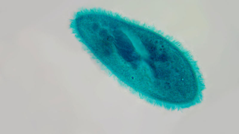 Still image from: The Biology of Ciliates