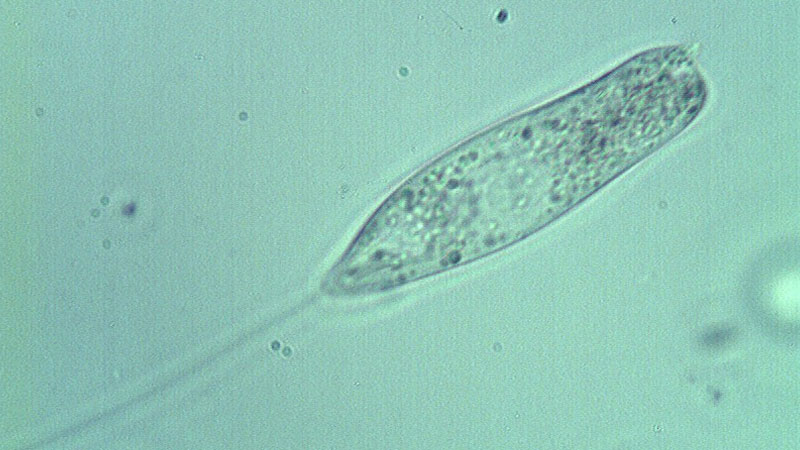 Still image from: The Biology of Flagellates and Amoebas