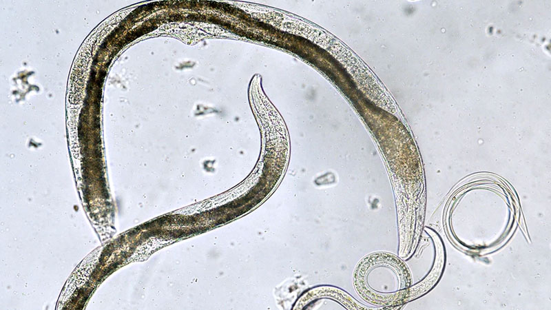 Still image from: The Biology of Nematodes, Rotifers, Bryozoans, and Some Minor Phyla