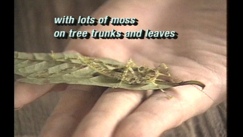 Hand holding a leaf. Almost entirely camouflaged on the leaf is an insect. Caption: with lots of moss on tree trunks and leaves