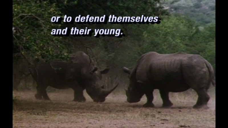 Two rhinos facing each other with heads lowered, in a clearing surrounded by trees. Caption: or to defend themselves and their young.