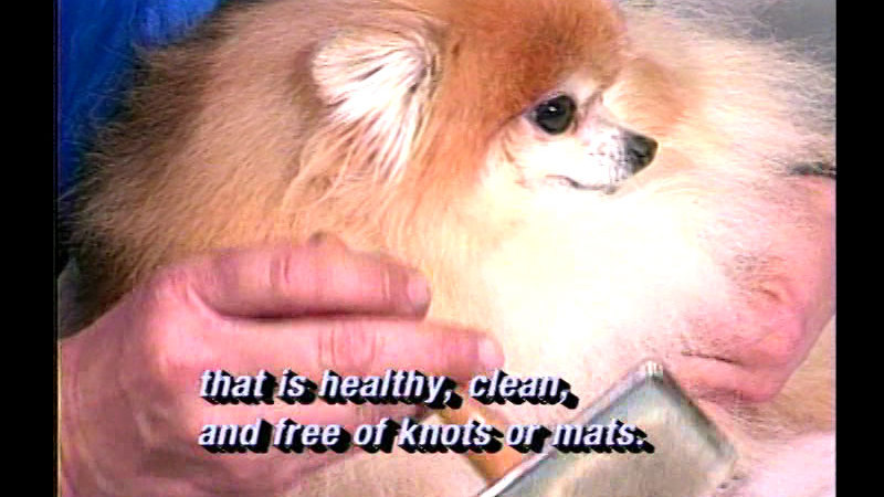 Still image from Caring For Your Pet Pomeranian