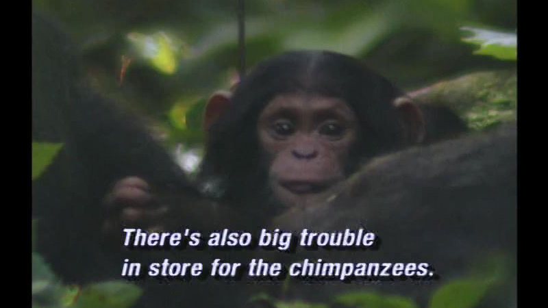 Still image from Chimpanzees of Uganda