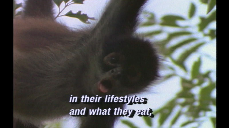 Close up of a monkey suspended in air. Caption: in their lifestyles and what they eat,