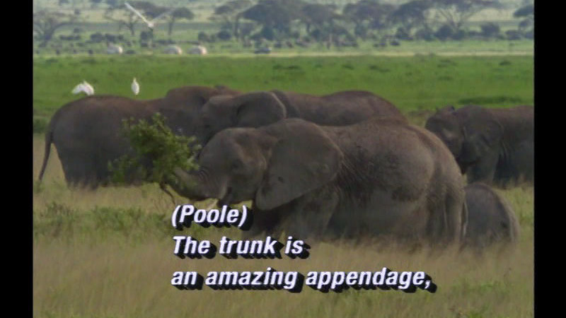 Elephants in the wild. One has a large amount of plant matter held in its trunk. Caption: (Poole) The trunk is an amazing appendage,