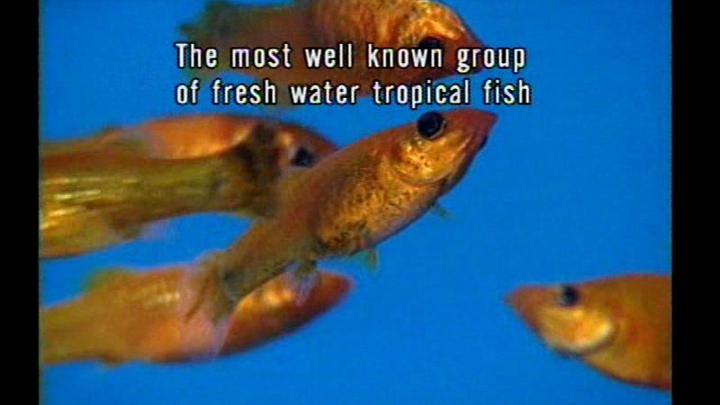 Close up of several small orange fish swimming in the water. Caption: The most well known group of fresh water tropical fish