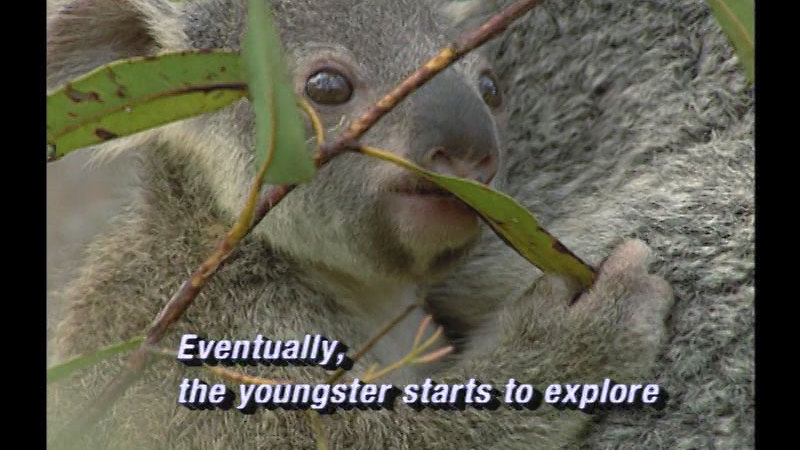 Close up of a young koala bear holding on to a larger furry body. Caption: Eventually, the youngster starts to explore.