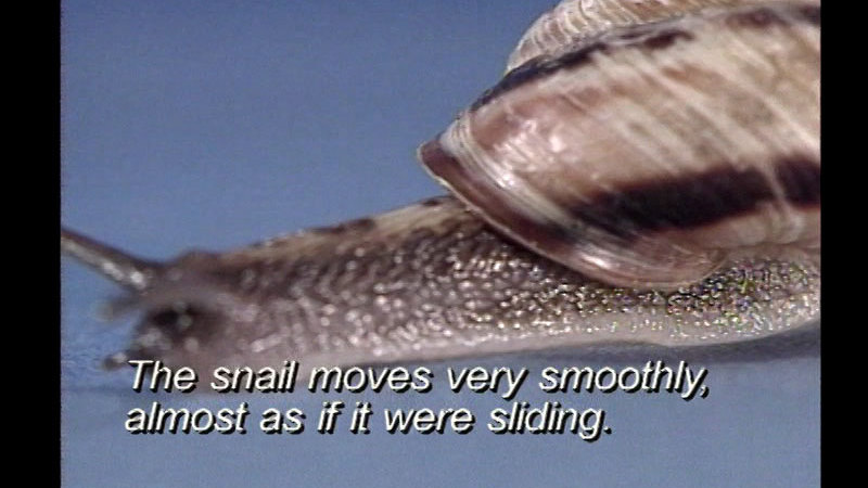 Close up of a snail. Caption: The snail moves very smoothly, almost as if it were sliding.