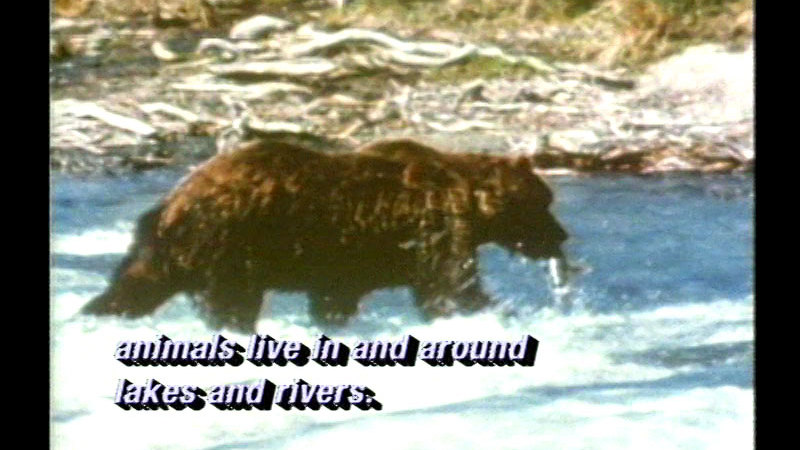 Bear in a river on all fours with a fish in its mouth. Caption: animals live in and around lakes and rivers.