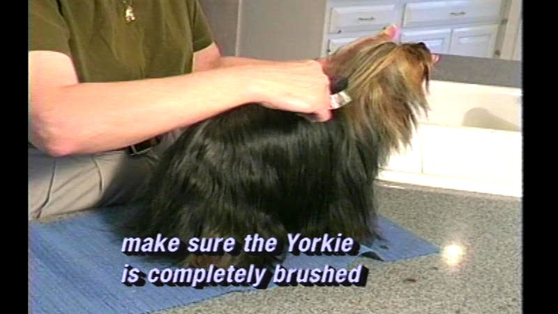 Still image from Selecting And Caring For Your Pet Yorkshire Terrier