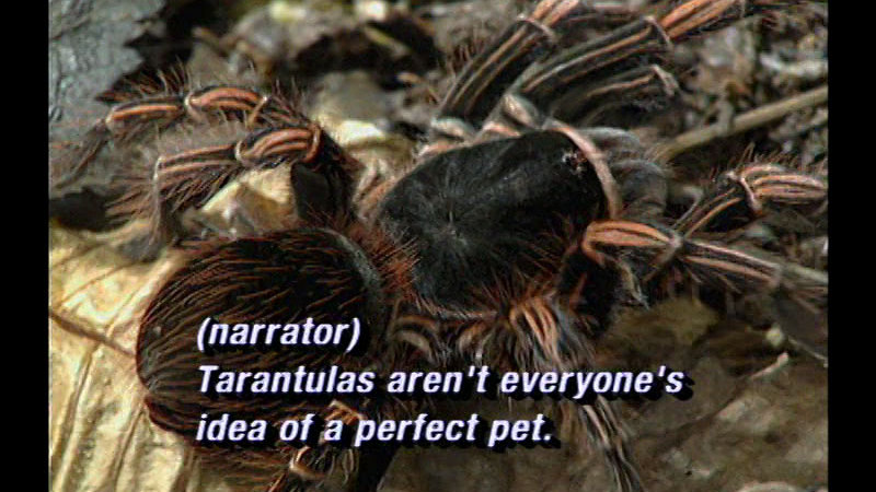 Closeup of a large black tarantula with orange hairs. Caption: (narrator) Tarantulas aren't everyone's idea of a perfect pet.
