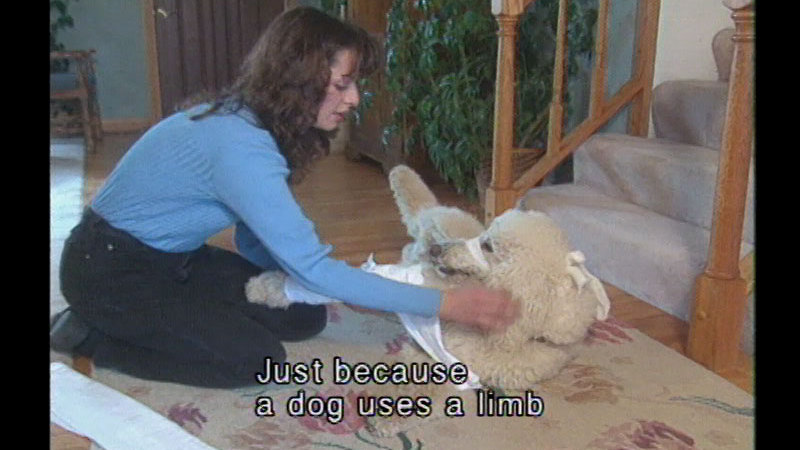 Woman kneeling next to a roll who has one leg bandaged and is rolling to show her its belly. Caption: Just because a dog uses a limb