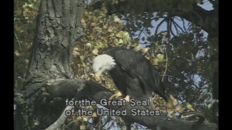 Still image from American Bald Eagle