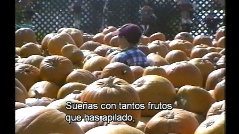 A child walking between mounds of ripe pumpkins. Spanish captions.