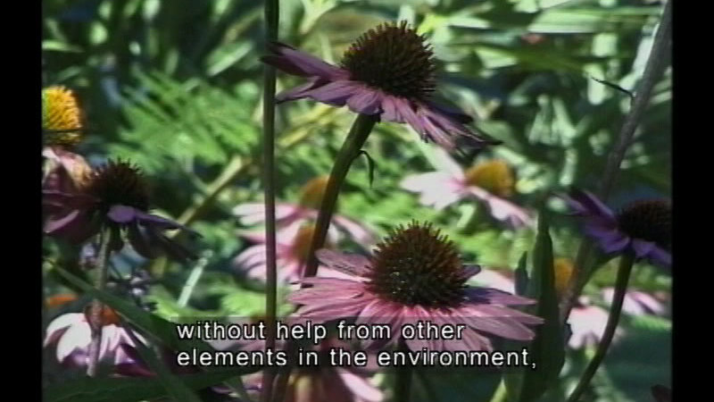 Wildflowers. Caption: without help from other elements in the environment,
