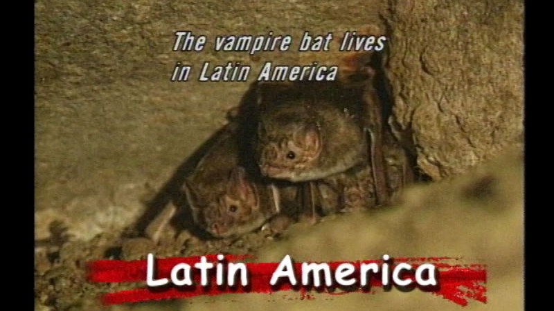 Two bats on top of each other, wedged into a crack in between some rocks. Caption: Latin America. The vampire bat lives in Latin America