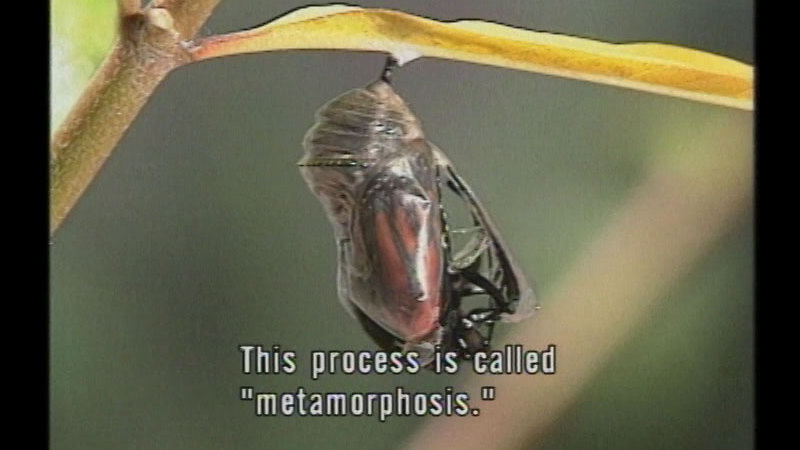 Still image from Insect Metamorphosis