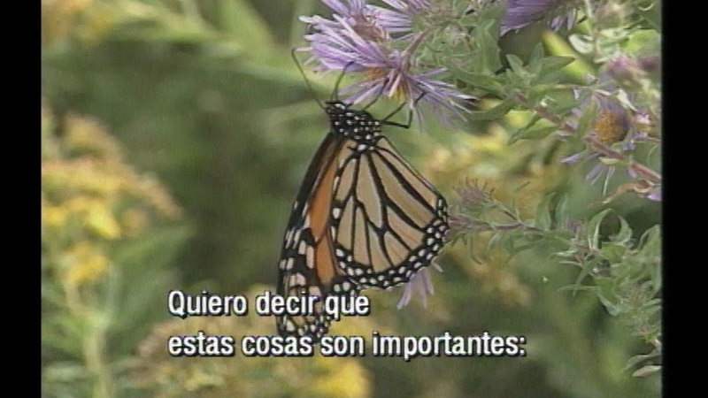 Still image from Monarch: A Butterfly Beyond Borders (Spanish)
