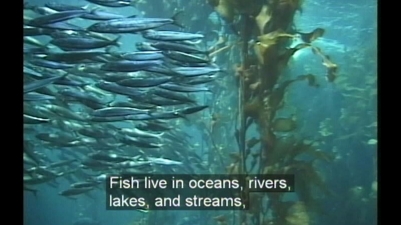 A school of small fish swim underwater through plant life. Caption: Fish live in oceans, rivers, lakes, and streams,