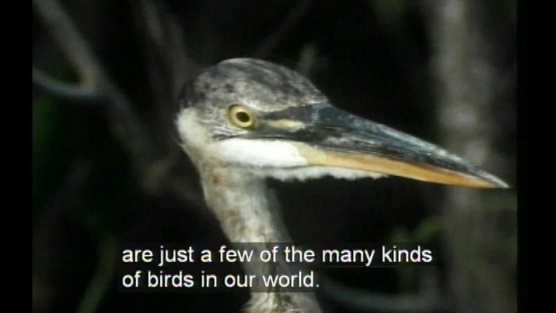 A bird with a long, light colored neck, a dark head, and a long, pointed beak. Caption: are just a few of the many kinds of birds in our world.