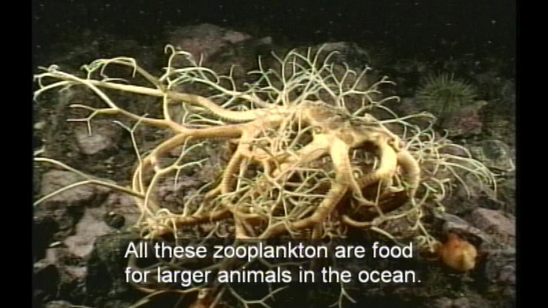 Animal on the ocean floor with branch like tangled limbs. Caption: All these zooplankton are food for larger animals in the ocean.