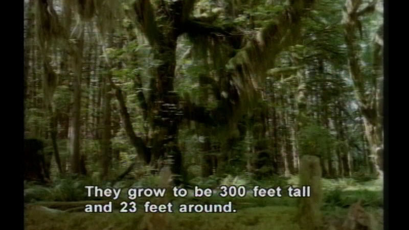 Large tree in a densely wooded forest. Caption: They grow to be 300 feet tall and 23 feet around.