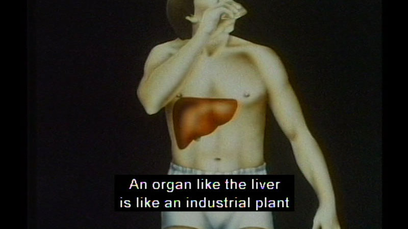 Human body with the liver shown in the right corner of the abdomen. Caption: An organ like the liver is like an industrial plant